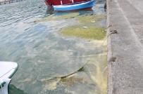 Gerze'de Liman İçinde Yosun Ve Çöp Kirliliği