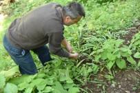 İlaç Sanayinin Gözdesi Kardelen Soğanı Artvin'de Sökülmeye Başlandı