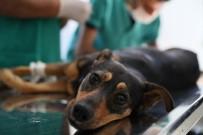 TRAFIK KAZASı - Silahla Vurulan Ve Trafik Kazası Geçiren İki Köpeğe Mersin Büyükşehir Belediyesi Sahip Çıktı