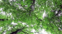 Sığla Ormanları Bilim İnsanlarını Bekliyor