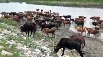 YEŞILCE - Muş'ta Hayvanların Nehirdeki Yolculuğu