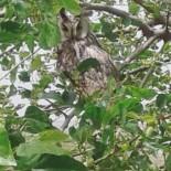Diyarbakır'da Nesli Tükenmekte Olan Boynuzlu Baykuş Görüldü
