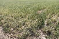 HAŞHAŞ - Amasyalı Çiftçiler Köylerinin Afet Bölgesi Kapsamına Alınmasını İstiyor