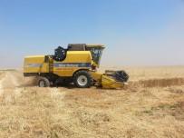 Kızıltepe'de Kırmızı Mercimek Ve Buğday Hasadına Başlandı