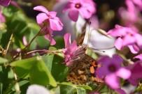 Sinop'ta Kelebek İstilası