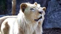 Beyaz Aslanlar İlk Kez Türkiye'de