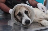 YAŞAM MÜCADELESİ - (Özel) Kafası Bidona Sıkışan Köpek Tekrar Hayata Döndürüldü