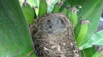 Muz Hasatına Kuş Yuvası Molası
