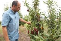 PERSPEKTIF - ODÜ'de 'Karayemiş' Çeşitleri Tescillendi