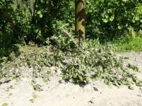 Şiddetli Rüzgar Fındığa Zarar Verdi