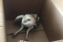 Tele Takılıp Yaralanan Peçeli Baykuş İyileştirilerek Doğaya Salındı