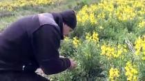 'Eber Sarısı'nı Koparmanın Cezası 60 Bin Lira