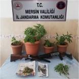 İŞÇİ SERVİSİ - Mersin'de 292 Kök Kenevir Bitkisi Ele Geçirildi