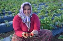 Çilek Üretimi Çiftçilerin Yeni Geçim Kaynağı Oldu