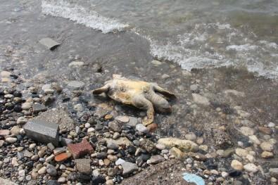 (Özel) Mersin'de Dev Kaplumbağa Ölü Olarak Sahile Vurdu