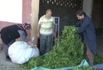 ÇAY ALIMI - ÇAYKUR Son 20 Yılın En Fazla Çayını Aldı