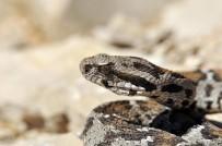 KOMMAGENE - Nesli tehlikede olan yılan Nemrut Dağı'nda görüldü