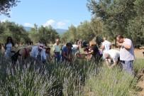 EDREMİT KÖRFEZİ - Kazdağları'nda Lavanta Hasadı Başladı
