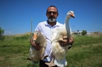 İRAN - Ülke Üretimine Katkı Sunmak İçin Kaz Çiftliği Kurdu