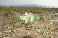 5 Bin Dönemim Pamuğu Yerle Bir Eden Dolu 10 Milyonluk Zarara Yol Açtı
