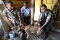 YABAN KEÇİSİ - Artvin'de Köpeklerin Saldırdığı Yaban Keçisini Barajın Özel Güvenlik Personeli Kurtardı