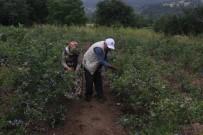 (Özel) Dağ Köyünün Yüzünü Güldürdü... Dönümden 80 Bin Lira Kazanıyor