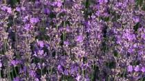 KIRAÇ - 'Kıraç Arazilere Buğday Yerine Lavanta Ekin' Önerisi