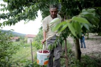 (Özel) Türkiye'nin En Kaliteli Kirazını Yetiştiriyorlar, Tek Şikayetleri Para Kazanamamak