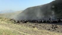 BİTLİS - Sürülerin, Nemrut Dağı'na Tozlu Yolculuğu