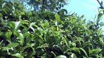 ÇAY ALIMI - ÇAYKUR'un Birinci Sürgün Yaş Çay Alımı Rekorla Tamamlandı