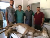 Çobanın Bulduğu Yaralı Yaban Keçisi Tedavi Altında