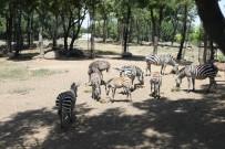 TİMSAH - Bursa Hayvanat Bahçesi'nde  Yavru Zebra Sevinci