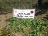 Çorum'da Jandarma Bin 39 Kök Hint Keneviri Ele Geçirdi