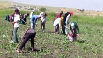 Mevsimlik İşçilerin Zorlu Mesaisi