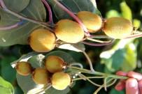 Arılar Kivi Polinasyonunda Kullanılacak