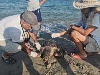 DİLEK YARIMADASI - Kuşadası'nda 1 Yunus Ve 3 Caretta Ceratta Sahile Vurdu