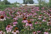 SOĞUK ALGINLIĞI - (Özel) Ana Vatanı Kuzey Amerika Olan Ekinezyayı Bursa'da Ekip Hasadını Yaptılar