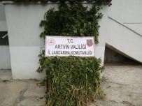 GEÇITLI - Ardanuç'ta Bin 130 Kök Hint Keneviri Ele Geçirildi