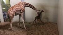 COLORADO - Hayvanat Bahçesinin Yeni Üyesi İlk Adımlarını Attı