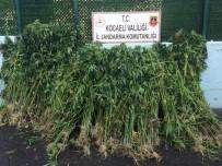 Kocaeli'de Ormanlık Alana Ekili 4 Bin 175 Kök Kenevir Yakalandı