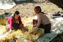 Mevsimlik Kayısı İşçilerinin Zorlu Mesaisi