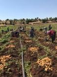 HARMANLı - Midyat'ta Patates Hasadı Yapıldı