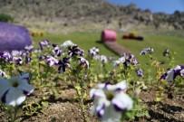 ERMENİ KİLİSESİ - Sivrihisar Çiçeklerle Renkleniyor