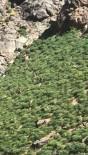 Yüksekova'da Dağ Keçisi Sürüsü Görüntülendi