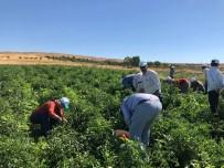 Kadıoğlu Çiftçiler İle Birlikte Hasat Yaptı