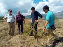 Almus'ta Gelir Getiren Ağaçlar Arazide İncelendi