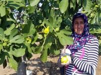 Buharkent'te Sezonun İlk Taze İnciri Hasat Edildi