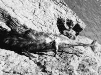 Kıyıya Vuran Yavru Yunus Ekipleri Harekete Geçirdi