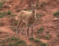 MUNZUR - Dağ Keçileri Pülümür Çayında Serinledi