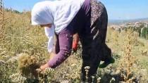 MEHMET KARAKAYA - Demirci'de Kekik Hasadı Başladı